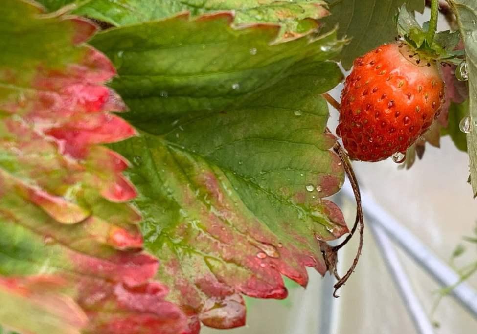 Jordgubbar - inga mängder men en och annan då och då gör susen för frukosten