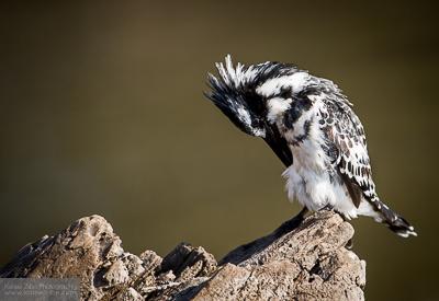 Pied kingfisher, Chobe River, Botswana