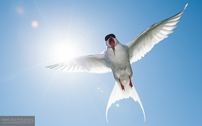 Arcic tern