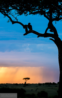 Tawny eagle roosting at the end of the day. Masai Mara, Kenya