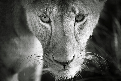 _ND40246-Pensive-lioness-kaleelzibe