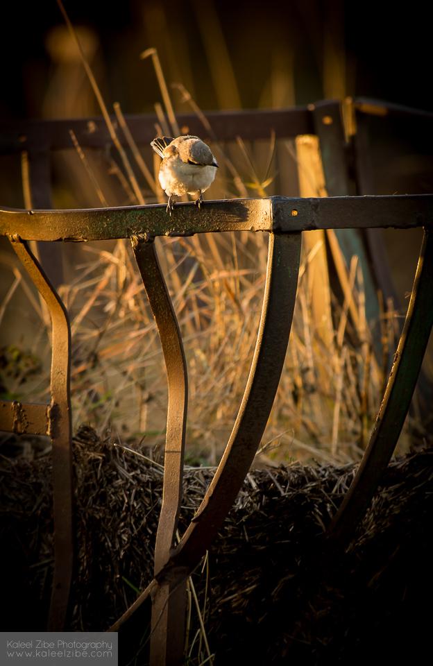_ND42774 Lesser grey shrike-Lanius minor-kaleelzibe.com