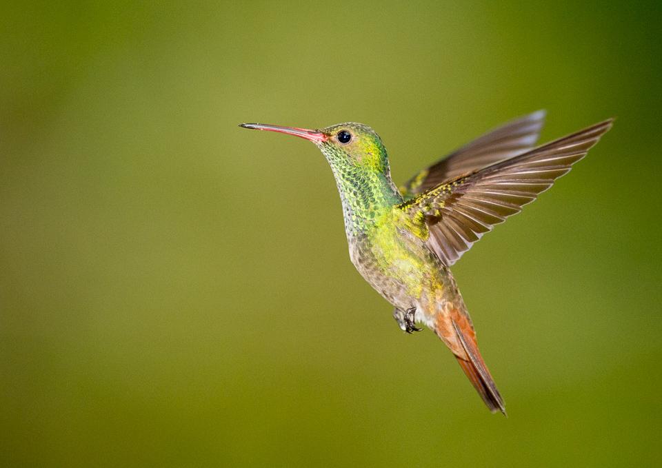 Rufous-tailed hummingbird, Amazilia tzacati, Costa Rica