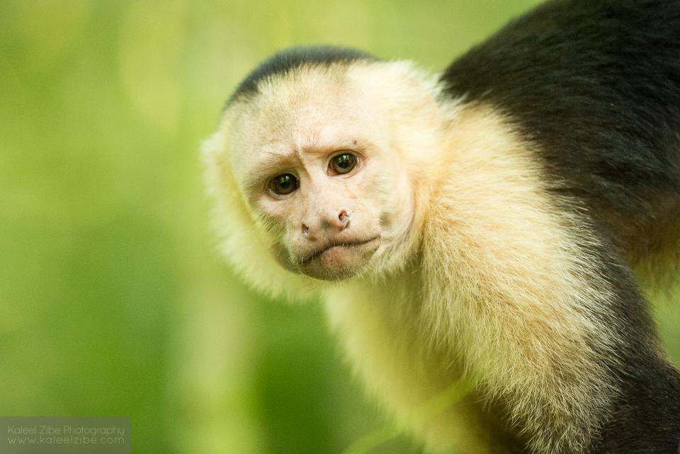 White-faced capuchin, Cebus capucinus, Corcovado, Costa Rica