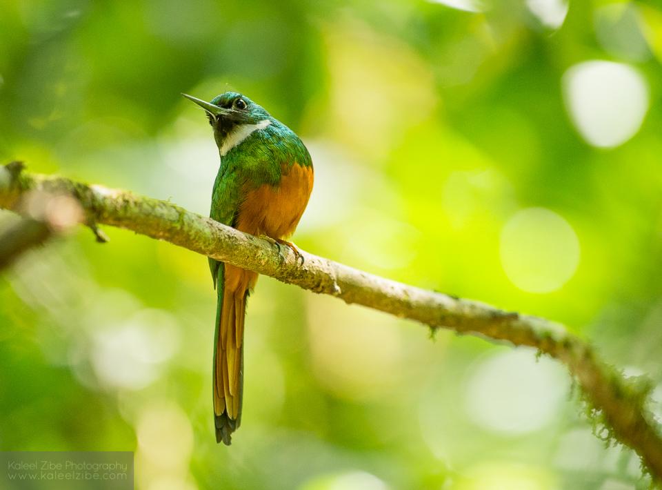 Angry bird! Ruffous-tailed jacamar male, Galbula ruficauda