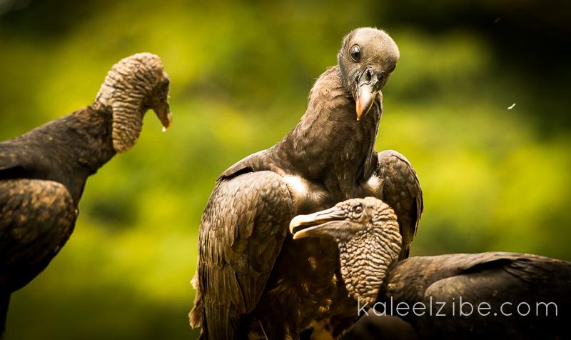 Juvenile king vulture and black vultures
