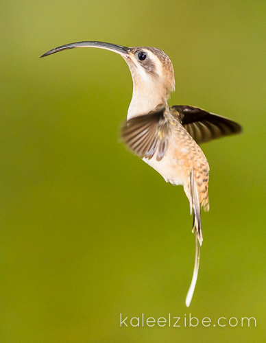 Long-billed hermit hummingbird. No, it's not a seahorse!