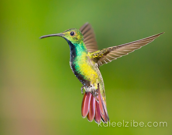 Male green-breasted mango hummingbird