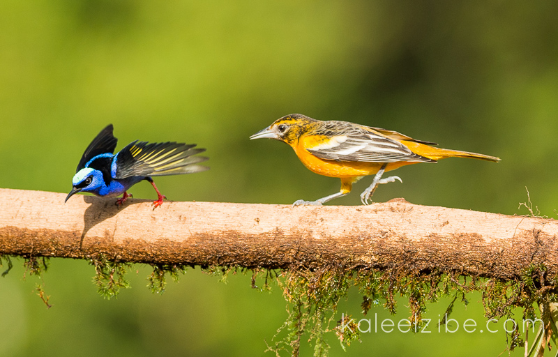 Baltimore oriole chasing a male red-legged honeycreeper