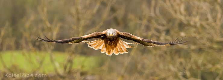 Red kites may be large, but they're extremely fast and agile. Catching them in the frame takes patience
