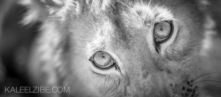 20080807-_ND34874 Lion cub-Zimbabwe-KaleelZibe.com