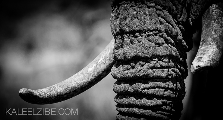 20121008-_ND40581 Elephant tusks-ivory-Masai Mara Kenya photo safari-KaleelZibe.com