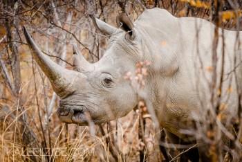 White rhino - Matopos, Zimbabwe