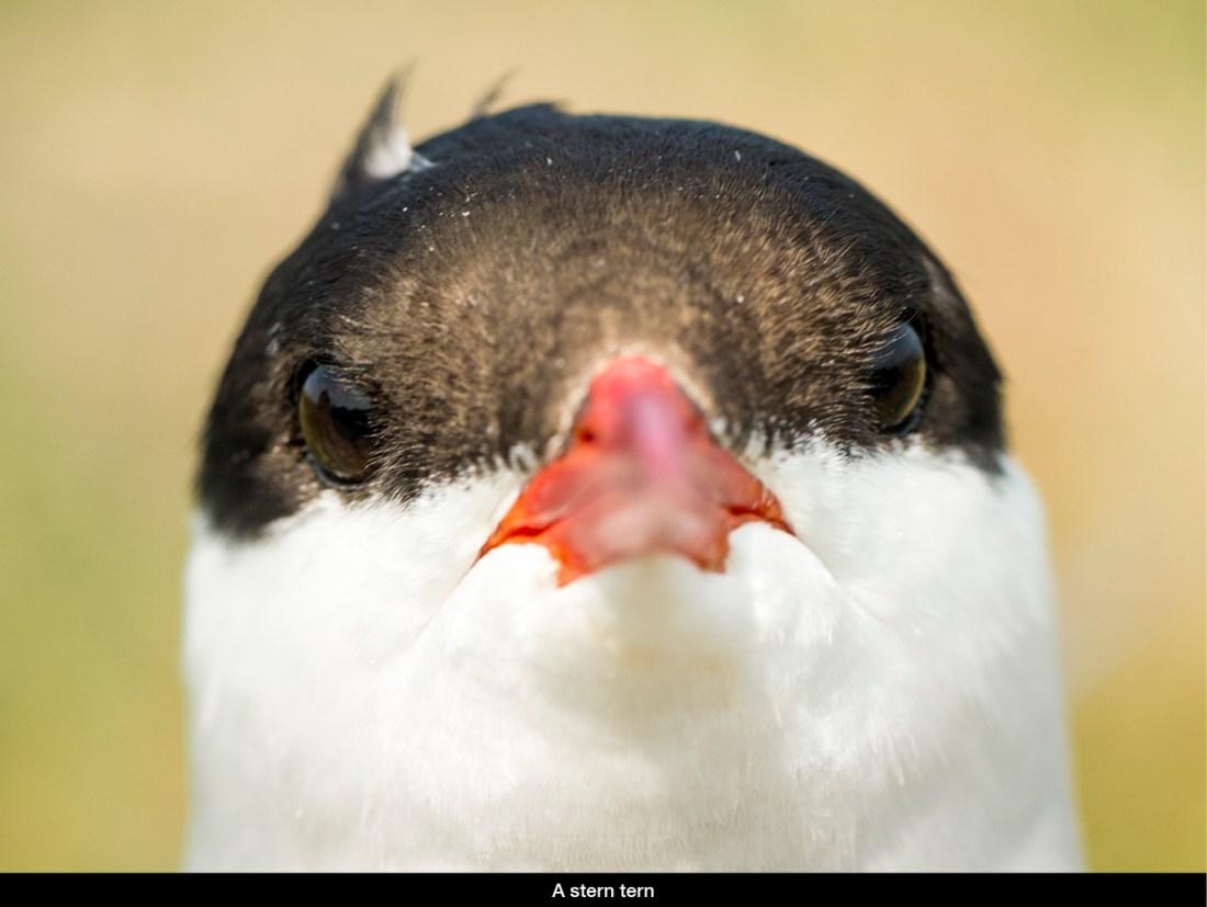 stern-tern