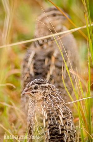 20150821-_D8E9913-Harlequin quails-Kenya-KaleelZibe.com