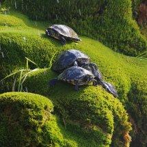 Les tortues suicidaires