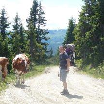 Les vaches en liberté dans les montagnes