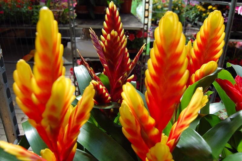 Zimmerpflanzen Die Viel Sonne Vertragen zimmerpflanzen