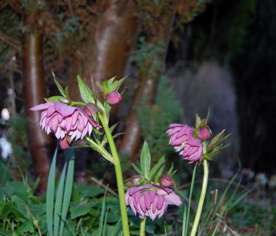 Kaliebes Blumenhaus  Helleborus  Lenzrosen