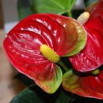 Kaliebes Blumenhaus Zimmerpflanzen in Bildern