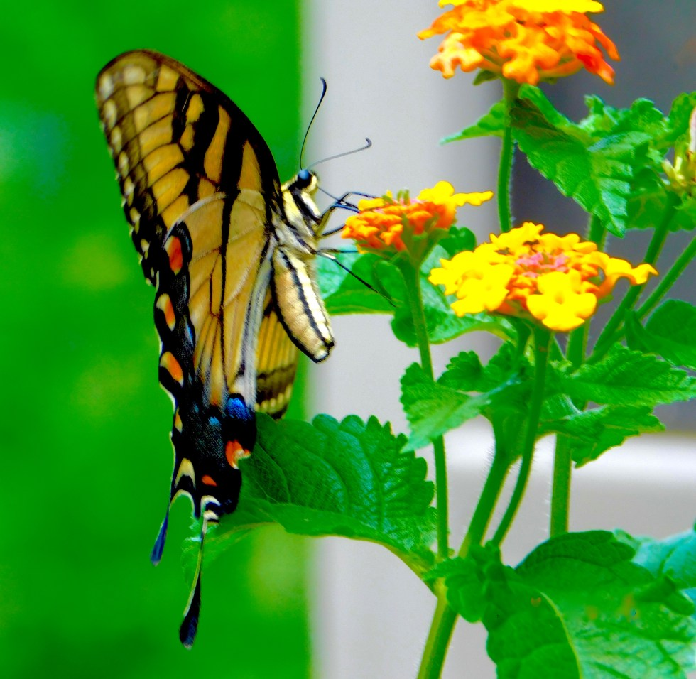 Butterfly feeding at Kalien Summer 2016