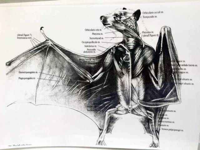 Bat anatomy.