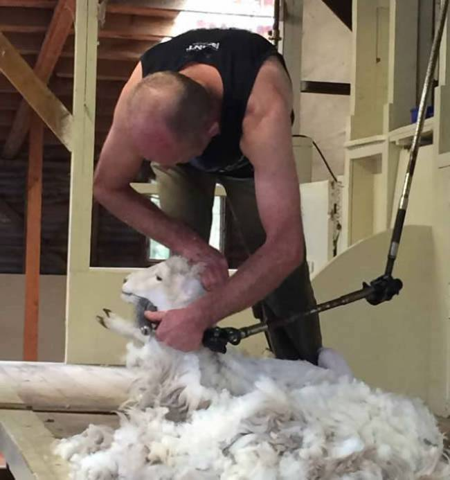 sheep during shearing