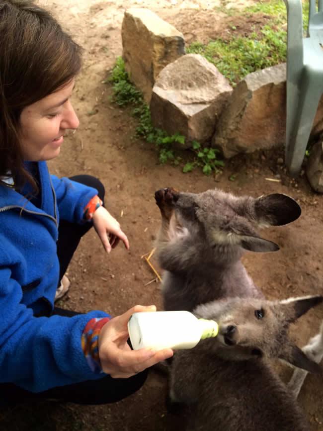 Kama feeding wallaroos