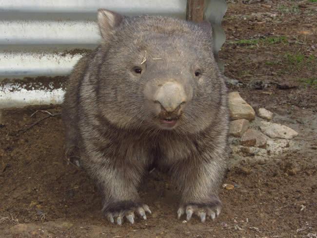 Silo the wombat