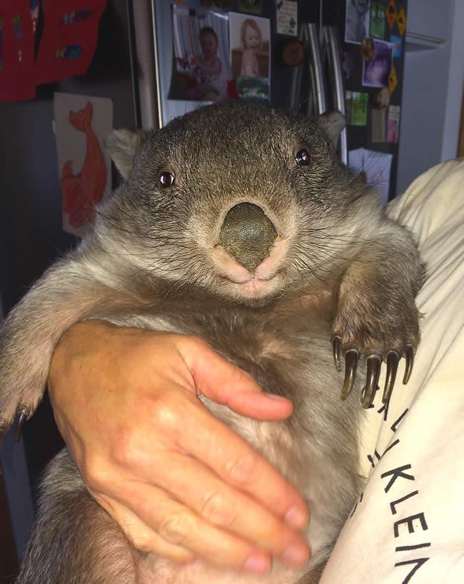 wombat with milk-drunk grin