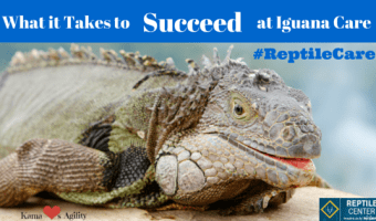 What it Takes to Succeed at Iguana Care #ReptileCare