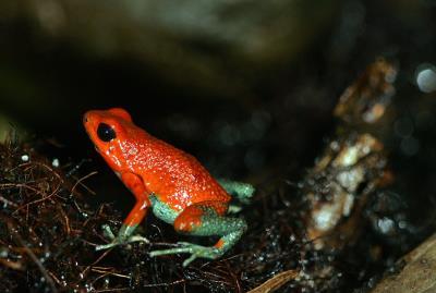Un hongo provoca la extinción de 90 especies de anfibios en 50 años
