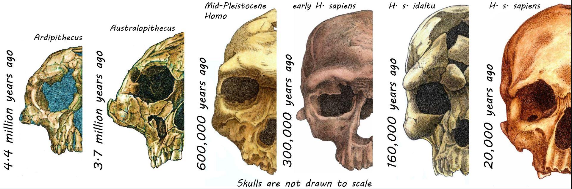 ¿Por qué los humanos modernos tenemos el rostro que tenemos?