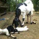 kambing etawa melahirkan