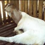 kambing etawa kepala coklat