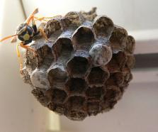 Die junge Königin baut das erste Stadium vom Nest.
