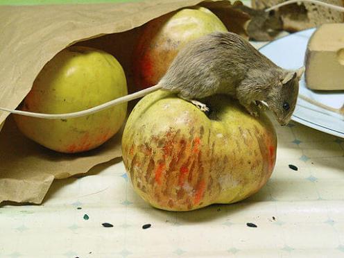 Schädlingsbekämpfer bekämpfen auch eine Mäuseplage.