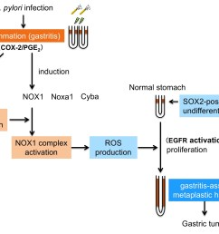 if we can disrupt the nox1 ros signaling pathway in situ we may be able to prevent the development of this aggressive disease  [ 1968 x 1498 Pixel ]