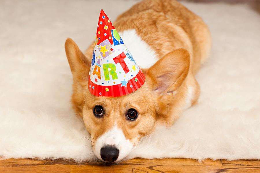 pembroke-corgi-birthday
