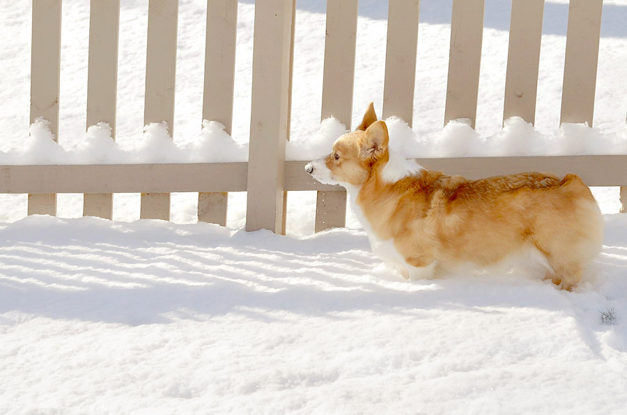 Corgi-in-snow-2