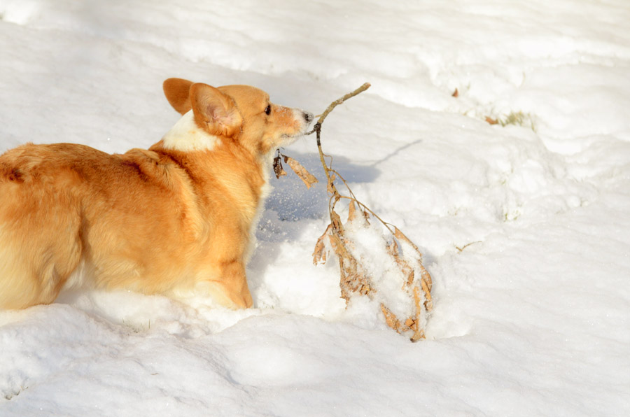 Corgi-with-stick-in-snow