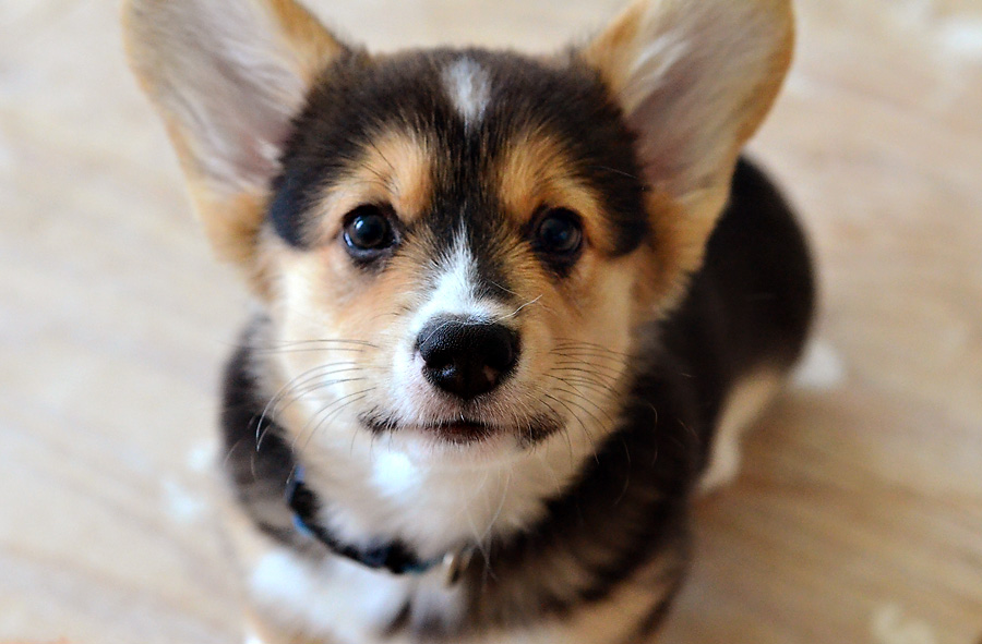 Dodger - Pembroke Corgi puppy - 10 weeks old 2