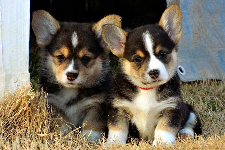 Pembroke Corgi puppy - brother and sis
