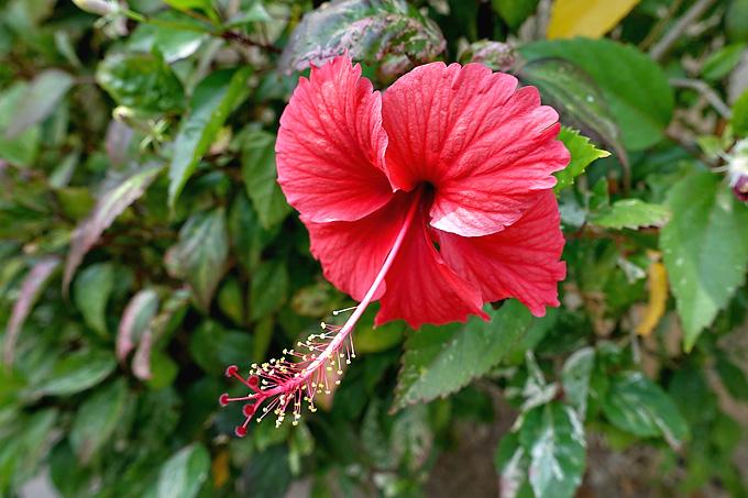 phuket-surin-beach-hibiscus