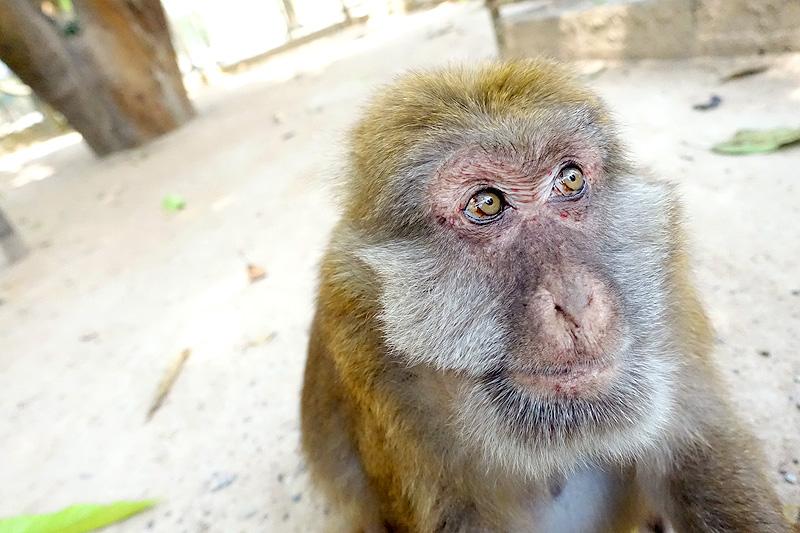 Thailand-WFFT-Macaque-Monkey-04