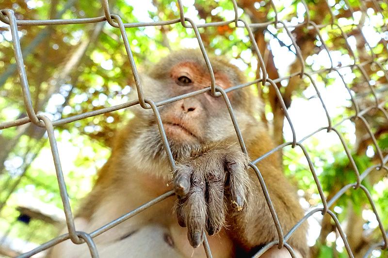 Thailand-WFFT-Macaque-Monkey-06