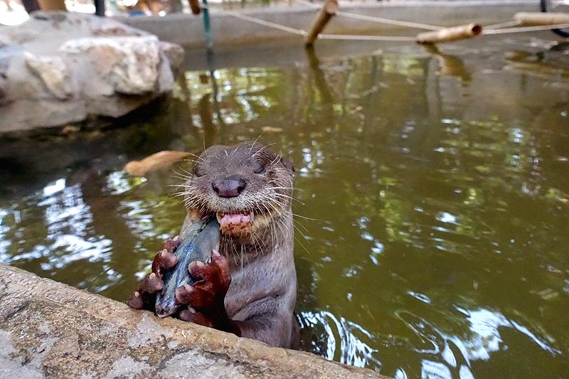 Thailand-WFFT-Ollie-Otter-01