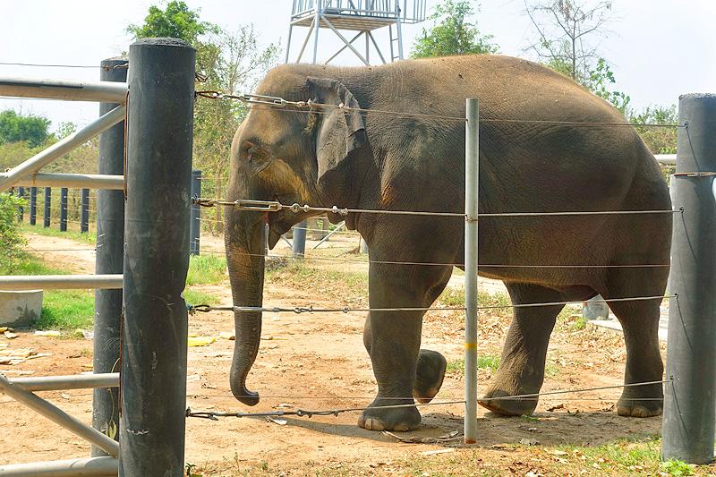 Thailand-WFFT-elephant-tour-khan-kloey-bull