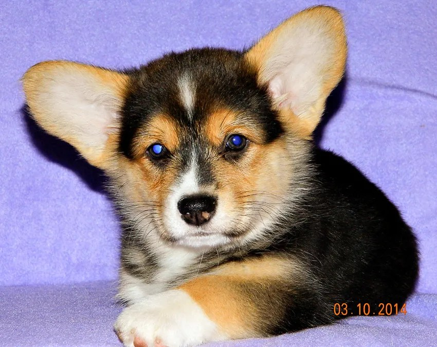 Dodger - Pembroke Corgi puppy - 8 weeks old