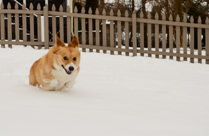 corgi-running-in-snow